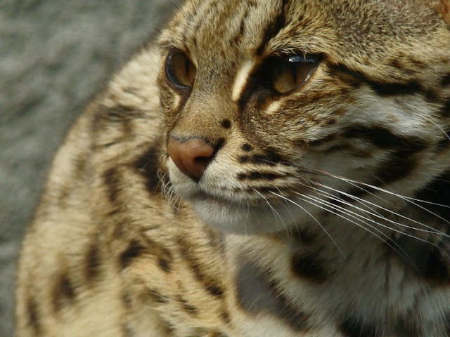 Cats domesticated in China earlier than 3000 BC