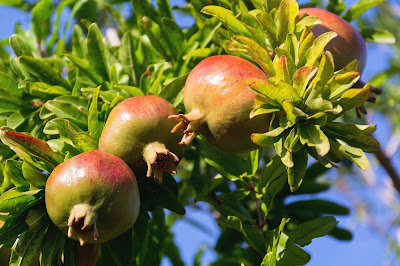 Facts About Pomegranate