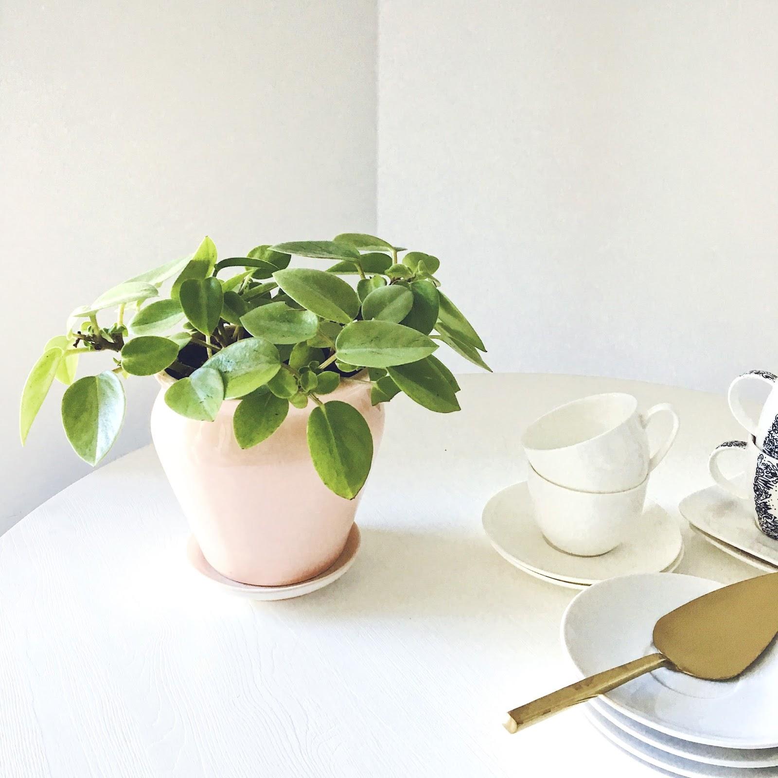 peperomija augalas