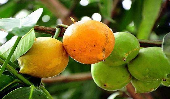 Sudah tahu belum kandungan buah gandaria apa saja ? Jika anda belum mengetahuinya, berikut ini rangkuman singkat nutrisi penting yang ada pada buah tersebut dalam setiap 100 gram :