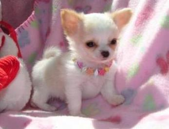 Cute Dogs Teacup Chihuahuas