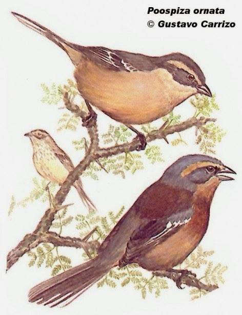 Monterita canela, Poospiza ornata