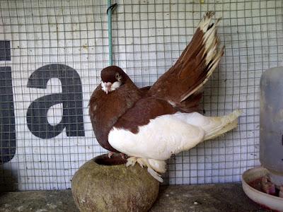 Волжский Красногрудый - tumbler long legs
