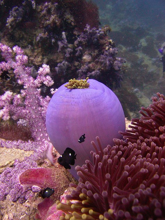 #Purple Sea #Anemone with #clownfish