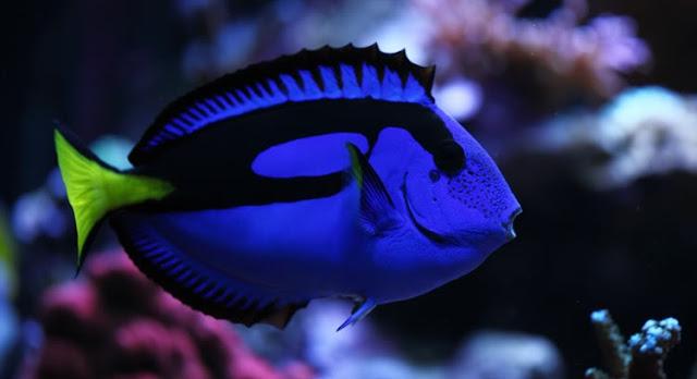 Gambar Ikan Botana - Budidaya Ikan