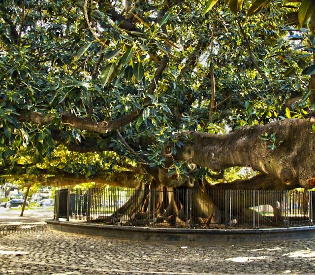 Foto de Un gomero gigante en Recoleta,Bs.As