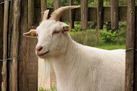ternak kambing potong, bisnis kambing potong, usaha ternak kambing potong, kambing potong, kambing, modal usaha kambing