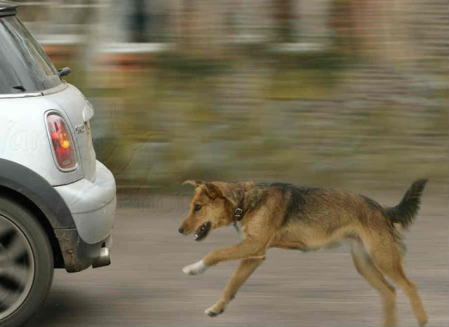 Why Dogs Follows The Vehicles