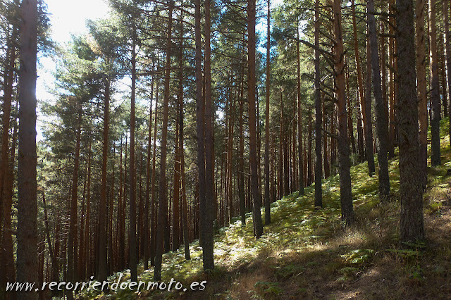 pinos en puerto de Navafría, Madrid