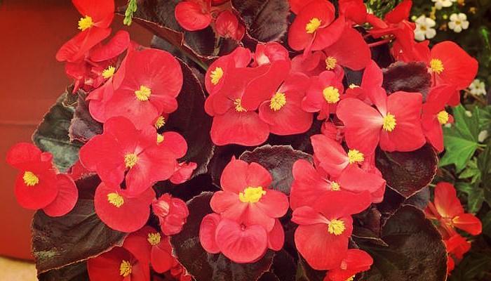 Plnata las begonias