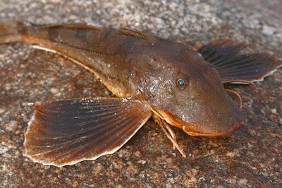 Searobin