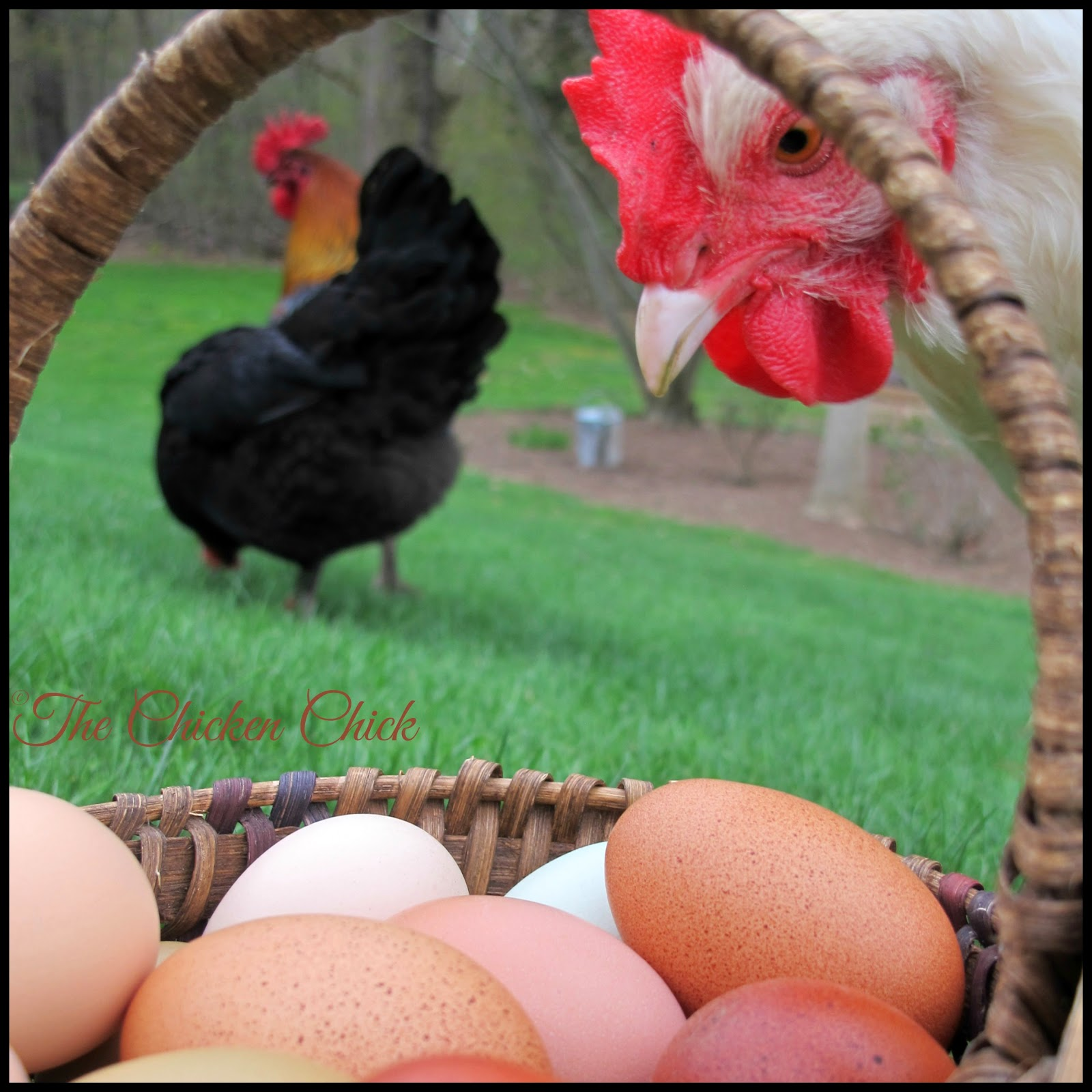 A hen does not need a rooster to produce eggs. A hen will lay eggs with the same frequency regardless of the presence or absence of  a rooster in the flock.