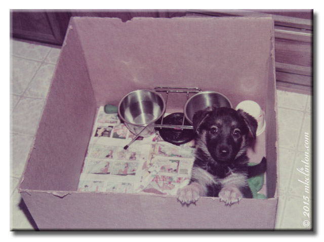 German Shepherd puppy in a box.