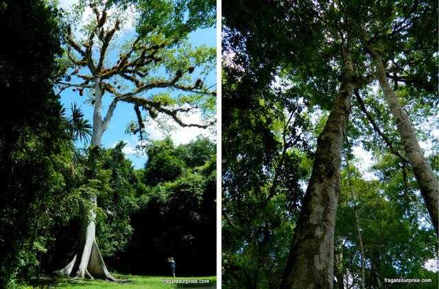 """árvores sagradas para o povo maia: Ceiba, """"a árvore da vida"""", e um Copal"""