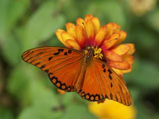 Agraulis vanillae - Papilio vanillae - Dione vanillae