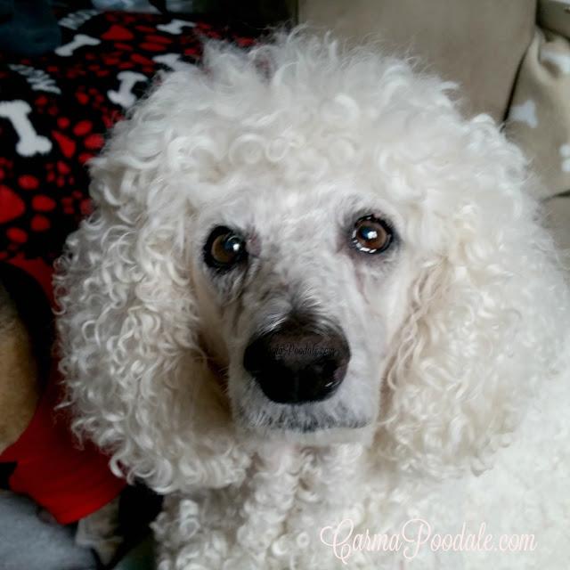 Brown eyed Carma Poodale, standard poodle