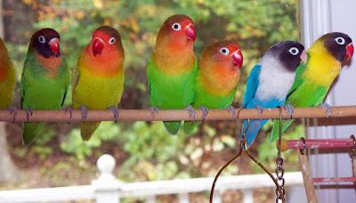 Daftar Harga Burung Lovebird