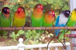 Daftar Harga Burung Lovebird Terbaru dan Terupdate 2019