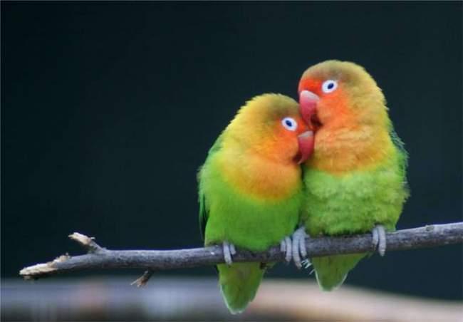 7 Cara Mudah Merawat Burung Lovebird Agar Rajin Gacor Dan Ngekek Panjang