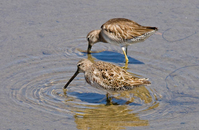 Short-billed dowitchers molting into breeding plumage
