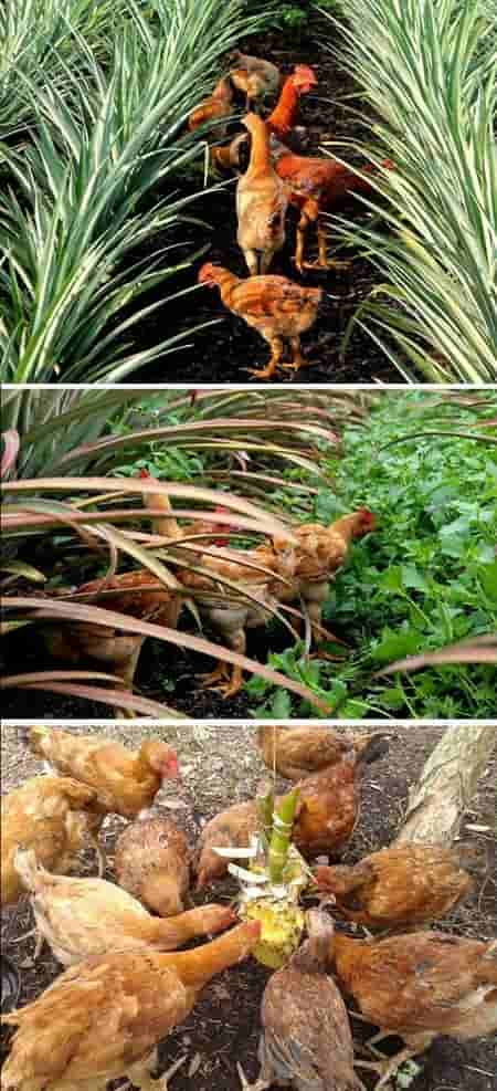 Chicken, Bee pineapple farm