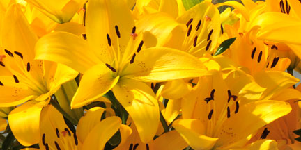Sun Valley Group La Hybrid lilies