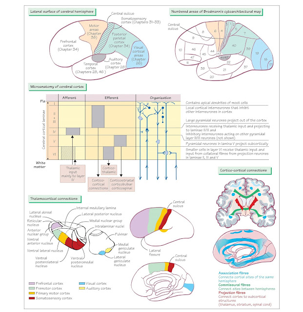 Organization Of The Cerebral Cortex And Thalamus