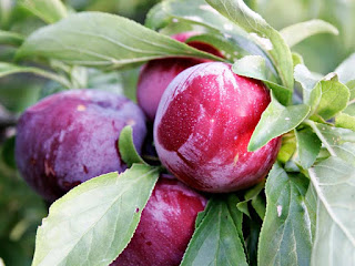 Plum Fruit Pictures