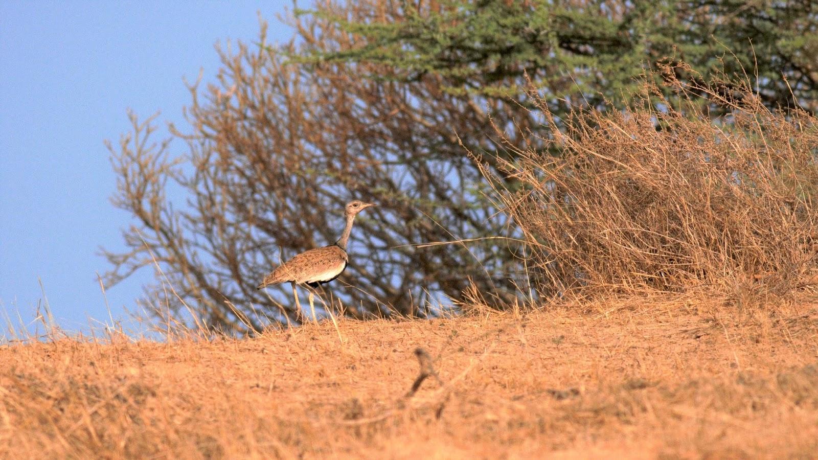 ee062073d88bc8 ORNITHONDAR - des oiseaux à Saint-Louis et dans le nord du Sénégal ...