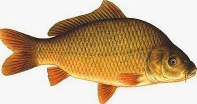 10 Manfaat Ikan Mas untuk Kesehatan