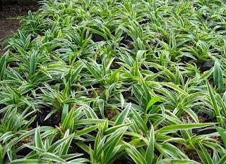 <img scr='nama_file_gambar.jpg'  alt='tanaman hias daun plant spider' />