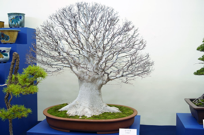 Magestic Bonsai on Display - Picture taken by Julian Tsai courtesy of Bonsai Empire
