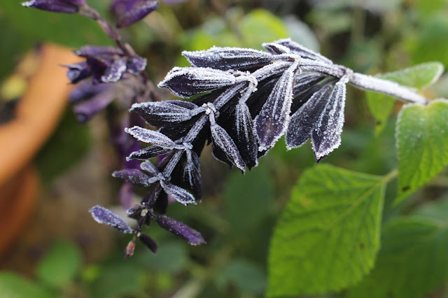 Frosted Salvia 'Amistad' in my garden on 23rd November, one of the latest first hard frosts recorded at VP Gardens
