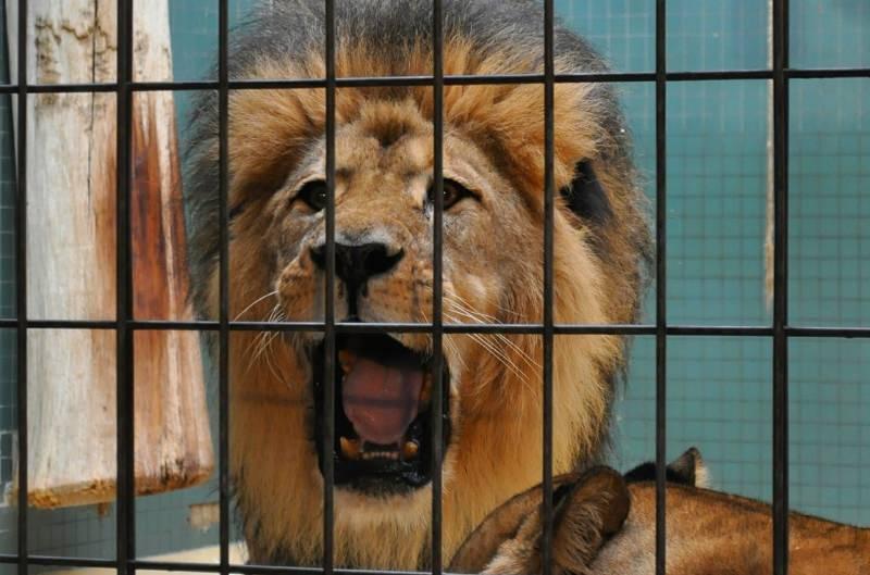 Leão numa jaula