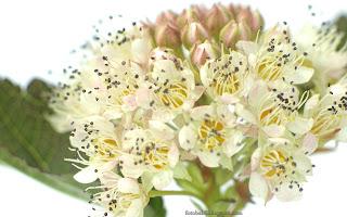 http://fotobabij.blogspot.com/2016/03/pecherznica-diabolo-kwiaty-physocarpus.html