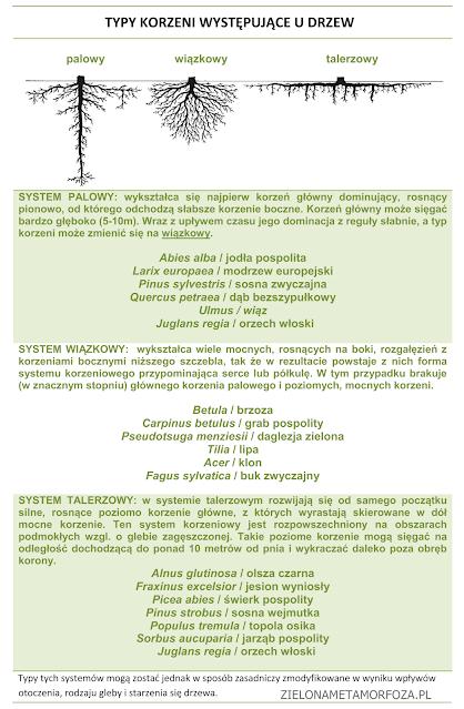 typy korzeni u drzew
