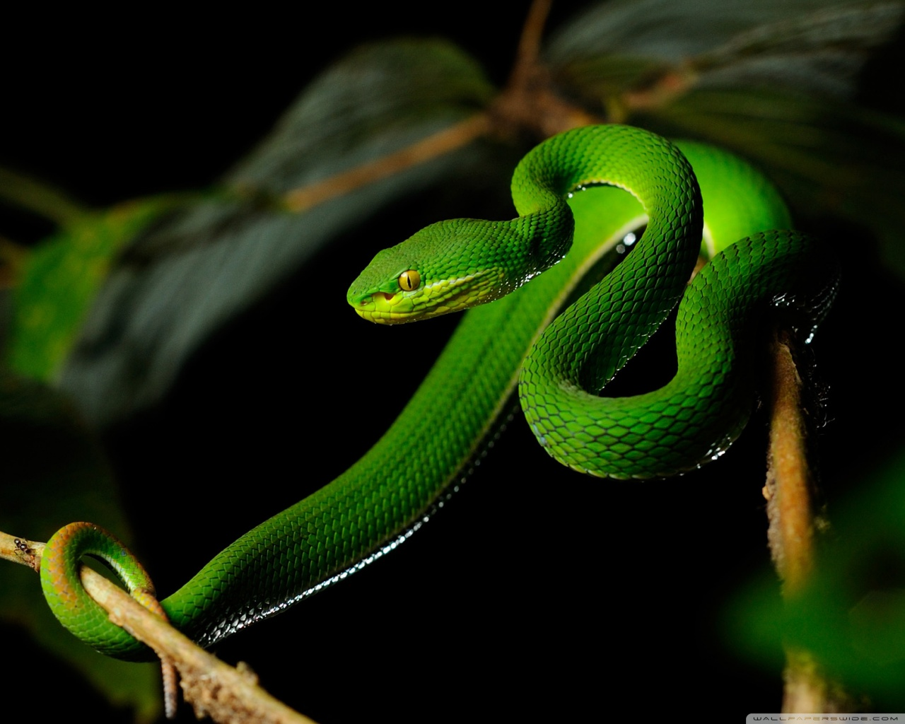 pit viper snake wallpaper | best wallpapers 4friends