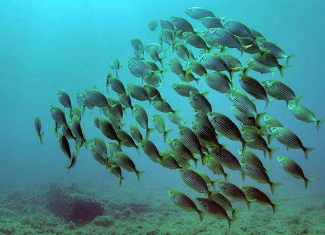 a group of Sea Bream (Archosargus rhomboidalis)
