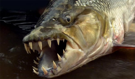 Guy Amazingly Catches a Goliath Tigerfish That's Straight From Your Darkest Nightmare