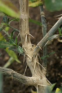 Barleria lupulina - Herbe tac-tac