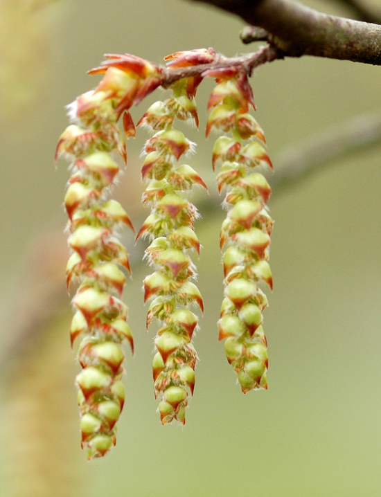 Photograph of Image of a flowering hornbeam by Amada44 released on Wikimedia Commons under Creative Commons BY-SA 3.0