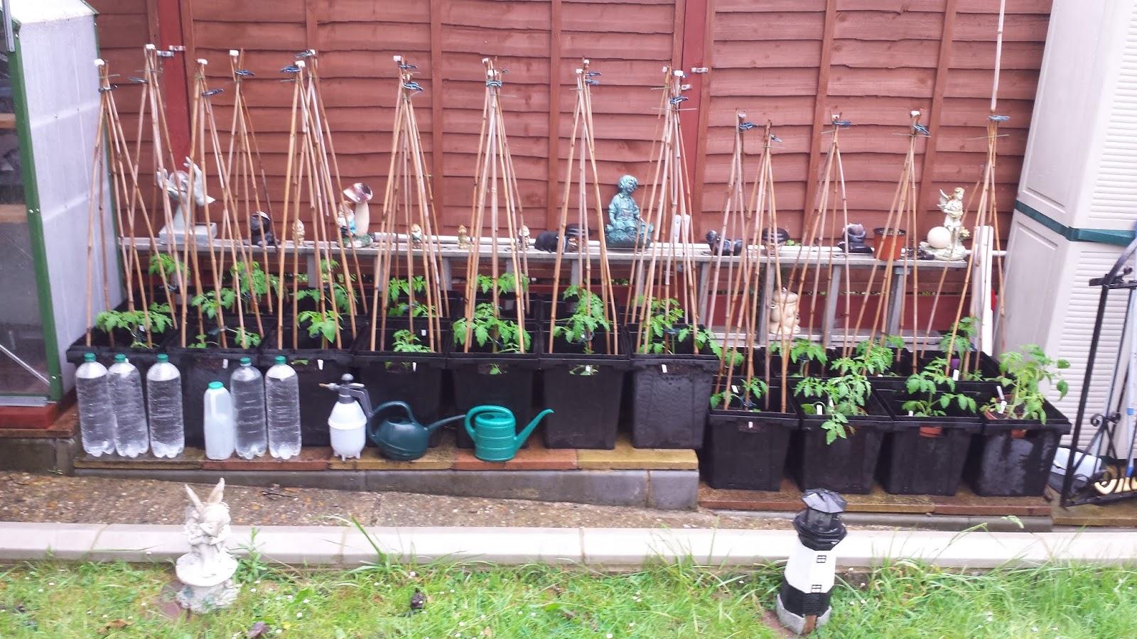 Alans Allotment: Tomato Transplanting