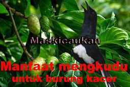 Dongkrak Stamina Burung Kacer agar Ngotot di Lomba dengan Herbal Rebusan Air Mengkudu