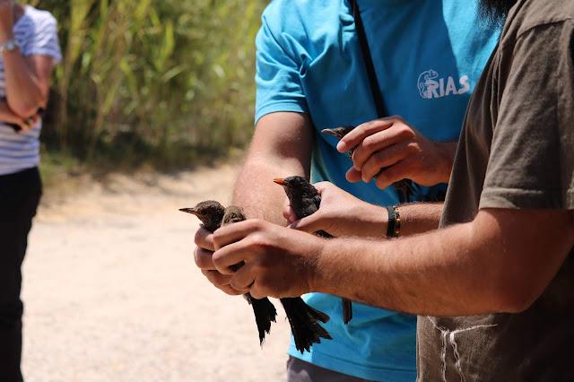 Devolução à Natureza de 4 melros-pretos