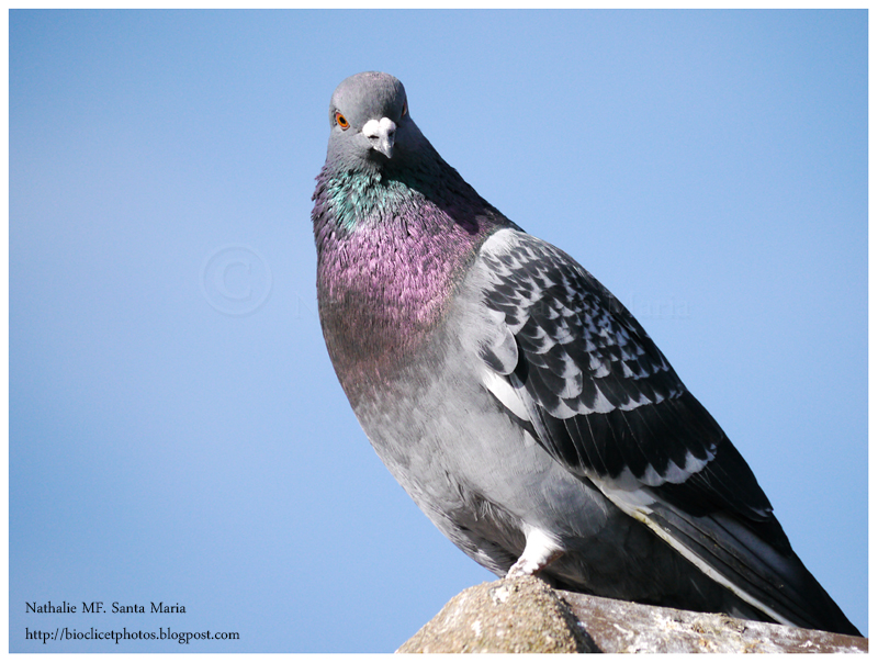 https://bioclicetphotos.blogspot.fr/search/label/Pigeon%20biset%20-%20Columbia%20livia