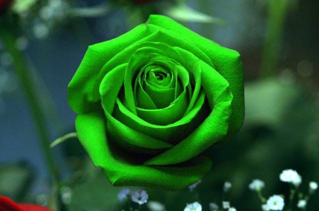 hoa hong xanh la dep nhat