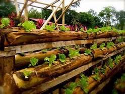 Bertani sawi dengan memanfaatkan batang pisang