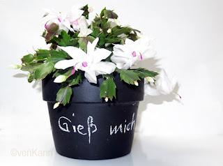 schwarzer-blumentopf-mit-weihnachtskaktus