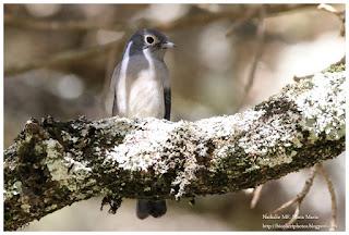 https://bioclicetphotos.blogspot.fr/search/label/Gobemouche%20de%20Fischer%20-%20Melaenornis%20fischeri