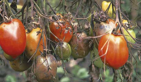What is tomato blight?